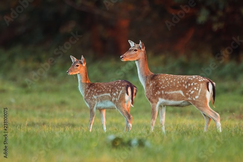 Fototapeta Doe and fawn fallow deer, dama dama, in autumn colors in last sunrays. Detailed image of two wild animals with blurred background. Wildlife scenery with cute mammals watching. Family concept. obraz