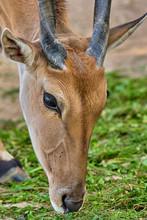 Eland Antelope(Taurotragus Oryx)