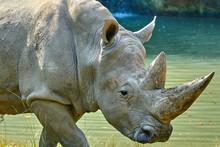 A White Rhinoceros (Ceratotherium Simum)