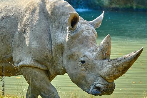 Tuinposter Neushoorn A white rhinoceros (Ceratotherium simum)