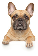 French Bulldog Above Banner, Isolated