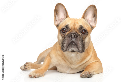 Young French Bulldog graceful lying
