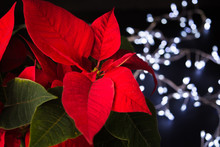 Red Poinsettia Flower, Symbol Of Christmas With Garland Lights