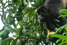 Howler Monkey Eating And Sticking Out Its Tongue Costa Rica