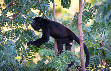Black Howler Monkey, Genus Alouatta Monotypic In Subfamily Alouattinae, One Of The Largest Of New World Monkeys, Forages For Food In His Habitat Rain Forest.