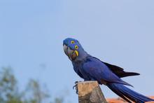 Couple Of Hyacinth Macaw, Braz...