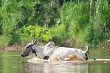 Cow Swimming Across River In Costa Rica Mangrove