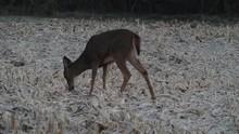 Deer In A Frosty Cornfield