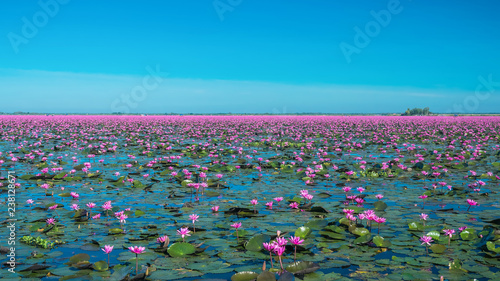 Obraz na plátně Amazing lake of red water lily landscape with clear sky