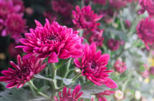 Beautyful Deep Pink Mums Flowers Is Blooming In Pot At Flower Market,blur Background,chrysanthemum