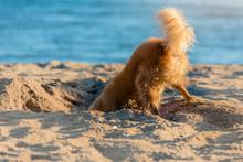 Playful Dog Hiding His Head In Sand On Beach