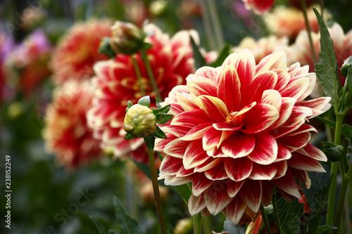 Poster de jardin Dahlia Red and cream petals do a large bud dahlias bright and unique.
