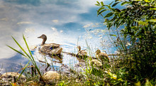 Wild Duck With Chicks In Musco...