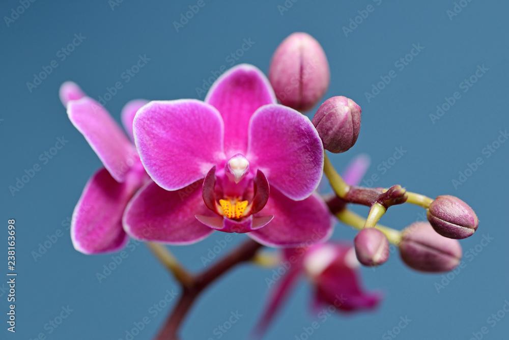 Obraz Fuchsia Phalaenopsis Orchid fototapeta, plakat