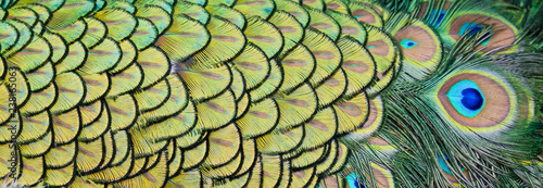 Fotobehang Pauw Details and patterns of peacock feathers.