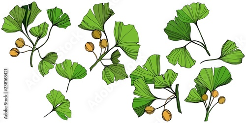 Fototapety, obrazy: Vector Isolated ginkgo illustration element. Green leaf. Plant botanical garden floral foliage. Green engraved ink art.