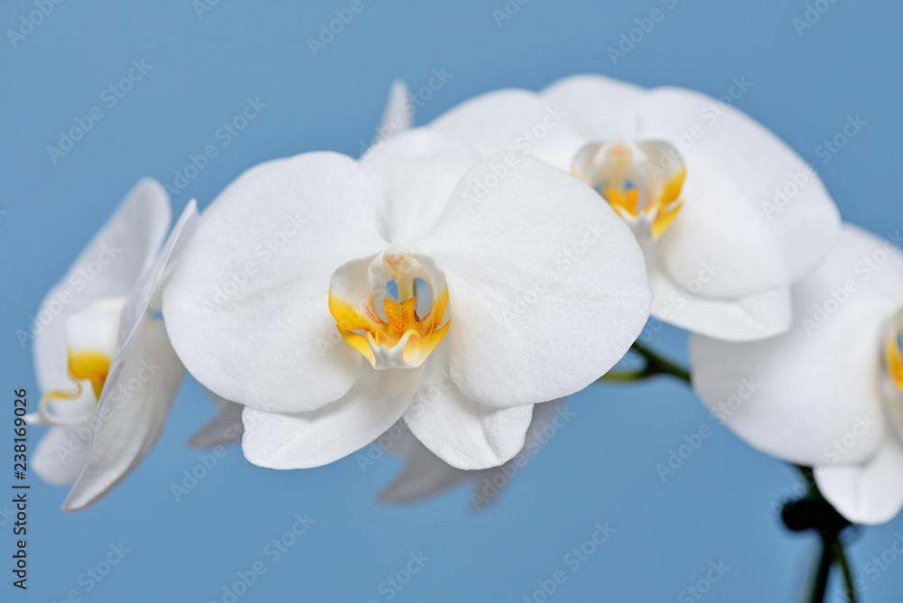 Obraz White Orchid. fototapeta, plakat