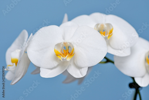 White Orchid. - 238169026