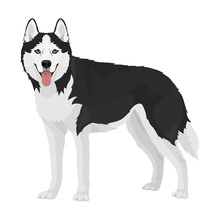 Black And White Siberian Husky With Blue Eyes And Tongue Out. Husky Dog Standing Isolated On White Background.. Vector Illustration