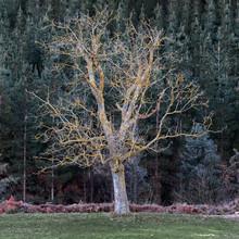 Beautiful Single Old Tree In M...