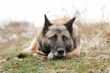 German Shepherd Looks Sad Lyig...