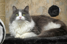 Fluffy Gray With White Cat