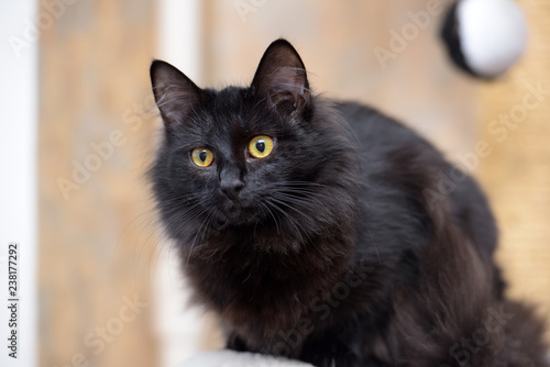 In de dag Panter black furry cat with orange eyes