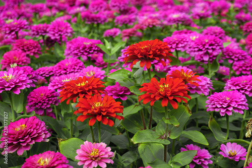 Poster Dahlia Chrysanthemum flowers in garden for background