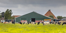 Dairy Farm Barn On Dutch Count...