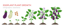Eggplant Growing Process From ...