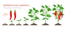 Chilli Pepper Plant Growth Stages Infographic Elements In Flat Design. Planting Process Of Chili From Seeds Sprout To Ripe Vegetable, Plant Life Cycle Isolated On White Background, Vector Illustration