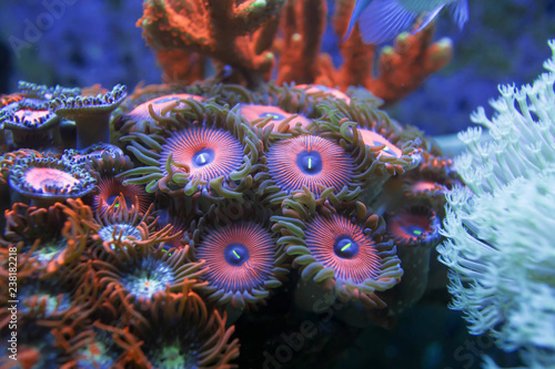 La pose en embrasure Sous-marin blur orange and blue zoanthid round buttons corals background