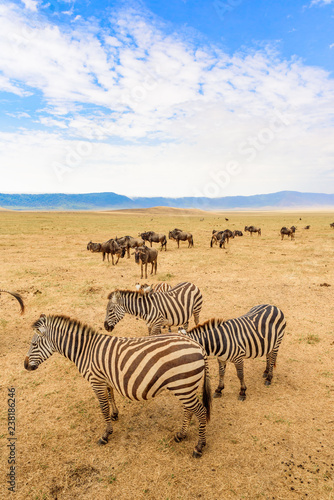 Fototapety, obrazy: Herd of zebras in african savannah. Zebra with pattern of black and white stripes. Wildlife scene from nature in Africa. Safari in National Park Ngorongoro Crater, Tanzania.