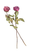 Two Dried Pink Roses Isolated ...