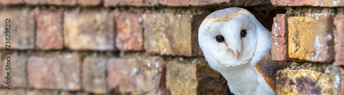 Papiers peints Chouette Barn Owl Looking Out of a Hole in a Wall Panorama