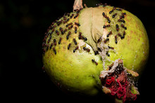 Pomegranate With Ants In The Dark