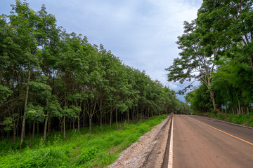 Fototapeta na wymiar Rural road with lush green trees, rubber trees Both sides of the road ,a fresh feeling.