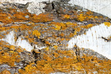 Natural Background. Outdoor. Unique Pattern On The Bark Of Birch Damaged By Natural Factors In Natural Environment. Deep Cracks Covered With Yellow Moss And Lichen.