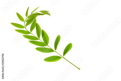Carta da parati  Siamese senna Leaf Close up