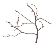 Beautiful Dry Twig Of Tree Isolated On White Background, Close Up