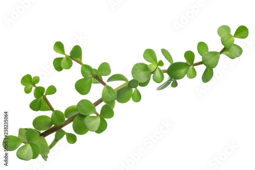 Fotografie, Obraz  green branch of plump plant is isolated on white background, close up