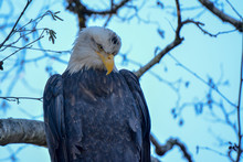 Close-up Of Bald Eagle Staring...