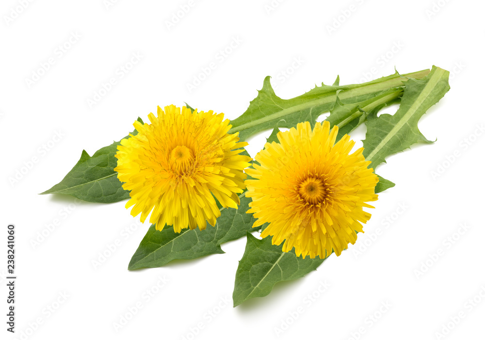Fototapety, obrazy: dandelion flowers and leaves