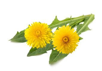 dandelion flowers and leaves