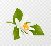 Blooming Tangerine, White Flower With Yellow Stamens And Green Leaves Isolated On Transparent Background. Realistic Vector Illustration