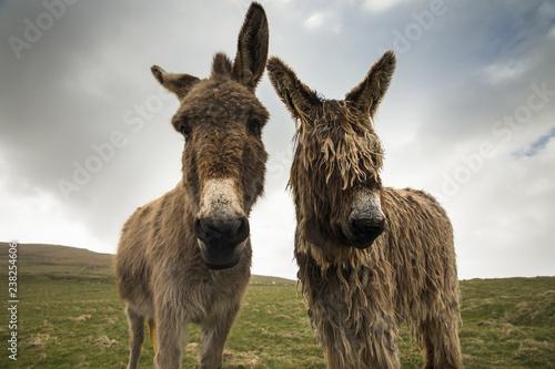 Irish donkeys Fototapet