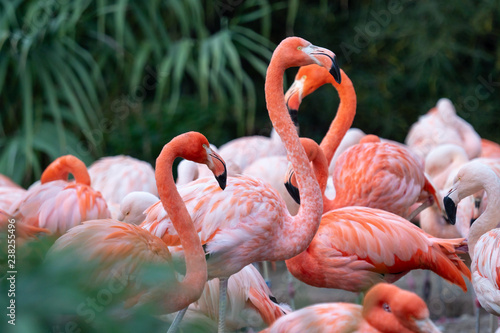 Naklejka premium Grupa chilijskich flamingów (Phoenicopterus chilensis)