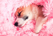 Cute Puppy Sweetly Sleeps In B...