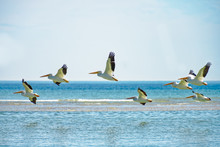 Many White Pelicans Flying By Sandbar