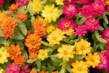 Top View Of Zinnia Many Color In Garden.